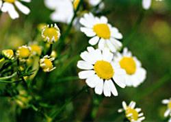 German chamomile. Lakon Herbals Gardens. 2004  WIDTH=